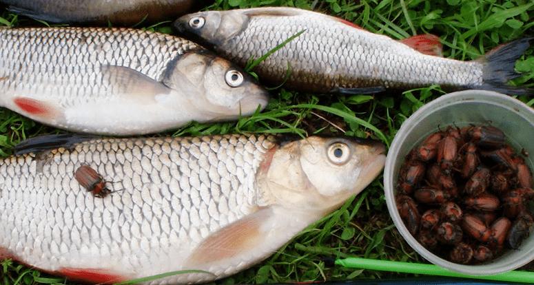 Рыба голавль и майский жук.