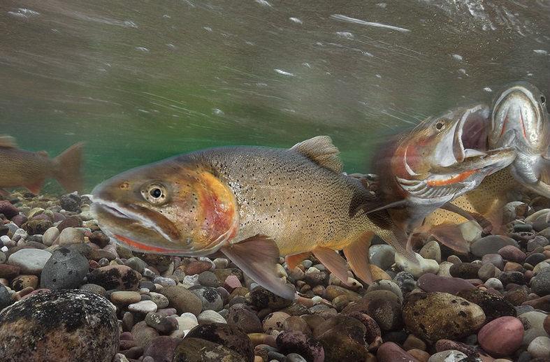 Описание рыбы радужная форель