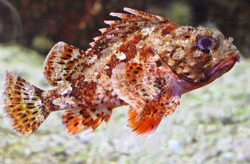 Рыба черного моря фотографии имеет
