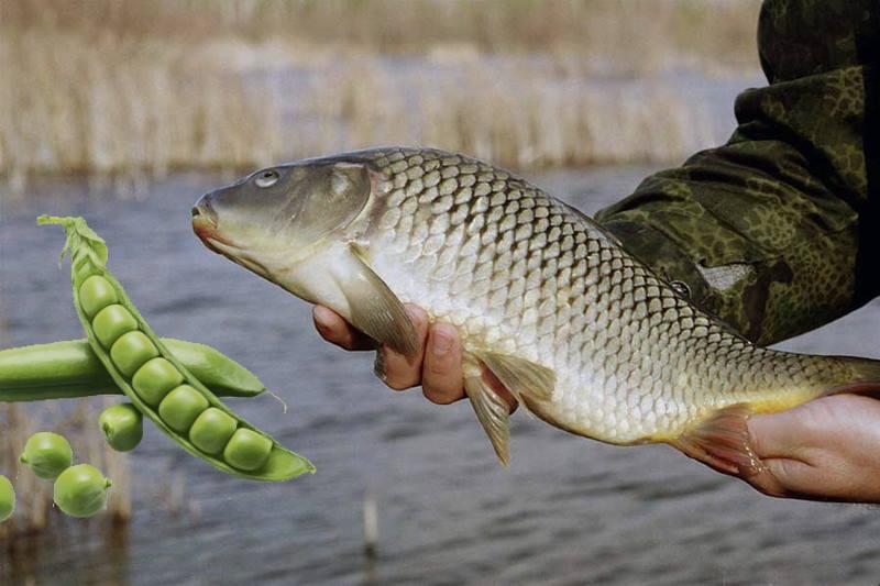 Приготовление и использование гороха для рыбалки